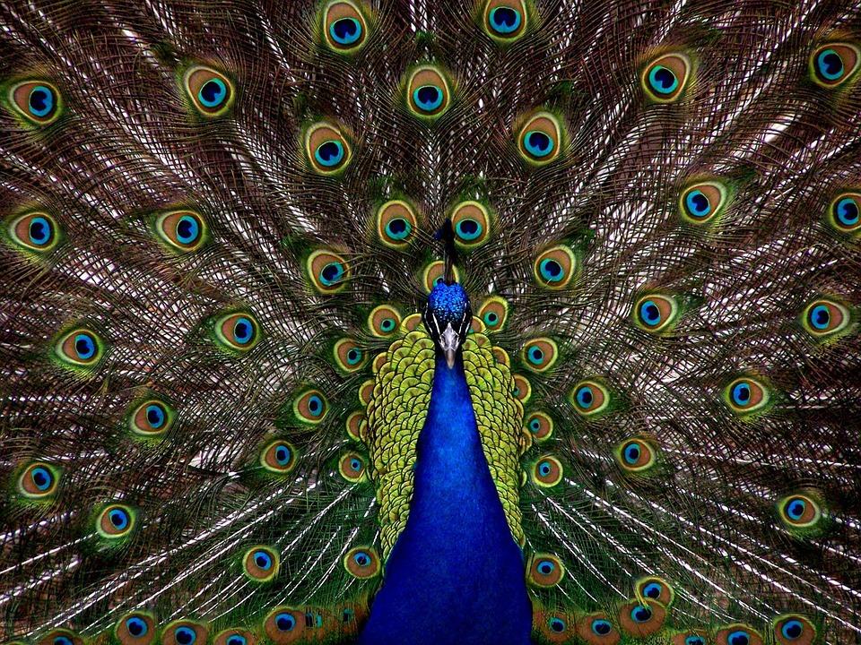 Peacock, Bird, Plumage, Display, Full, Elegant
