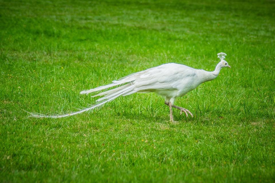 Peacock, White, Feather, Elegant, Bird