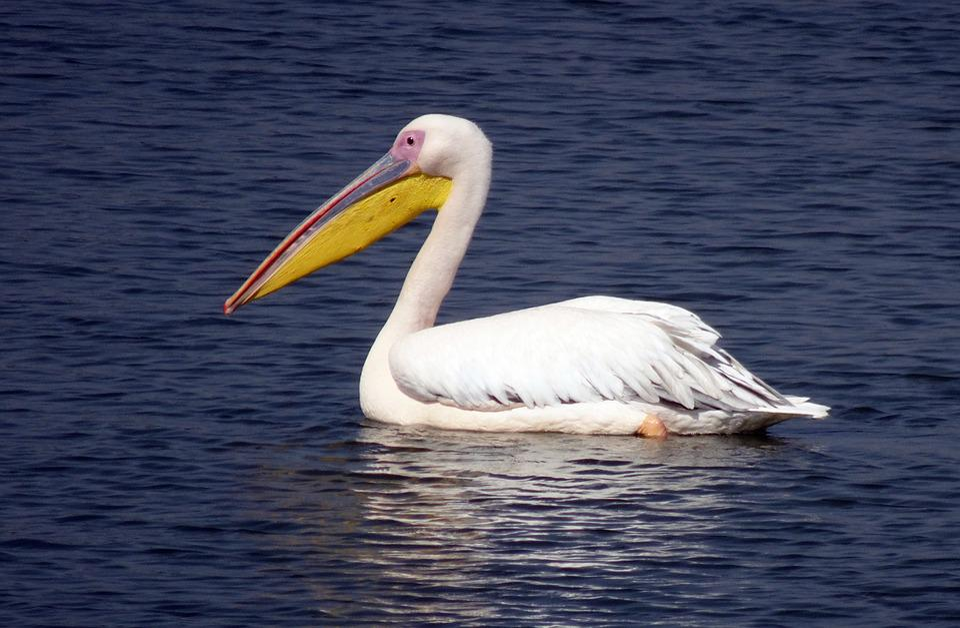 Bird, Great White Pelican, Pelecanus Onocrotalus