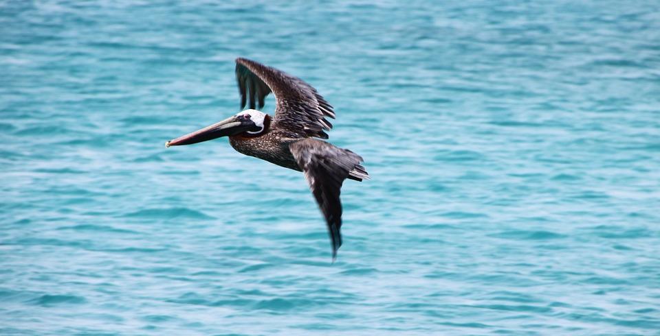 Pelikan, Bird, Brown Pelican, Pelecanus Occidentalis