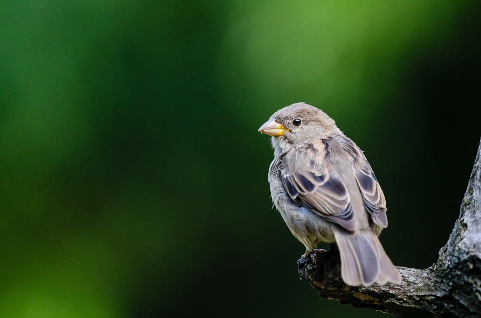 Sparrow, Bird, Perched, Animal, Avian, Plumage, Ave