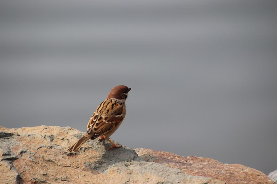 Sparrow, Bird, Rock, Perched, Animal, Small Bird