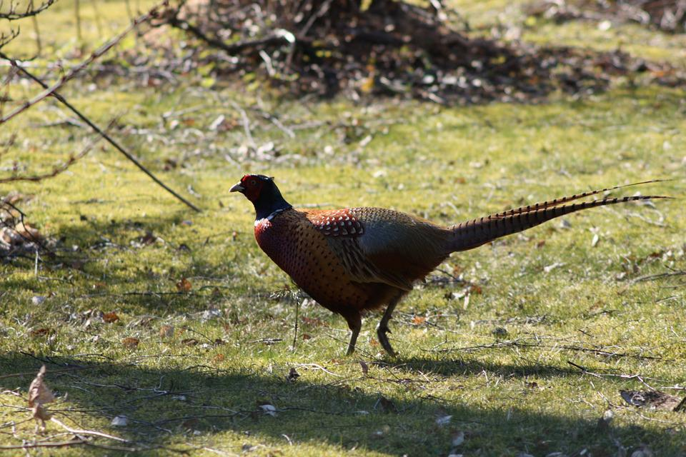 Pheasant, Bird, Game