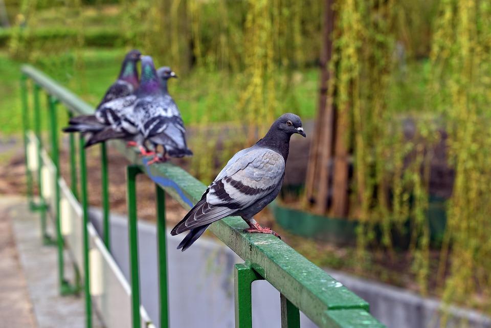 Pigeon, Bird, Animal, Rock Pigeon, Rock Dove