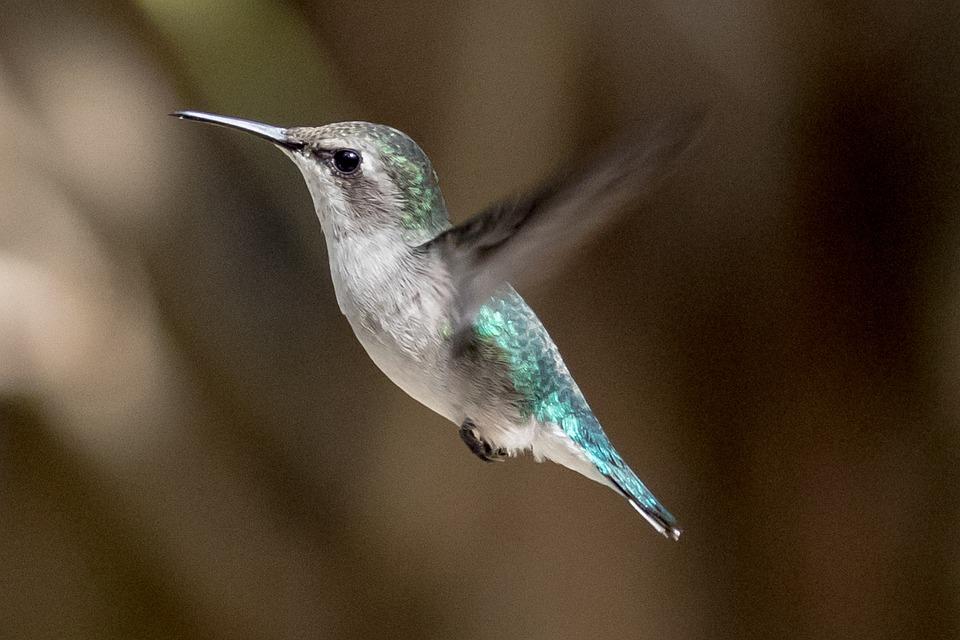 Cuba, Playa Larga, Mellisuga Helenae, Hummingbird, Bird