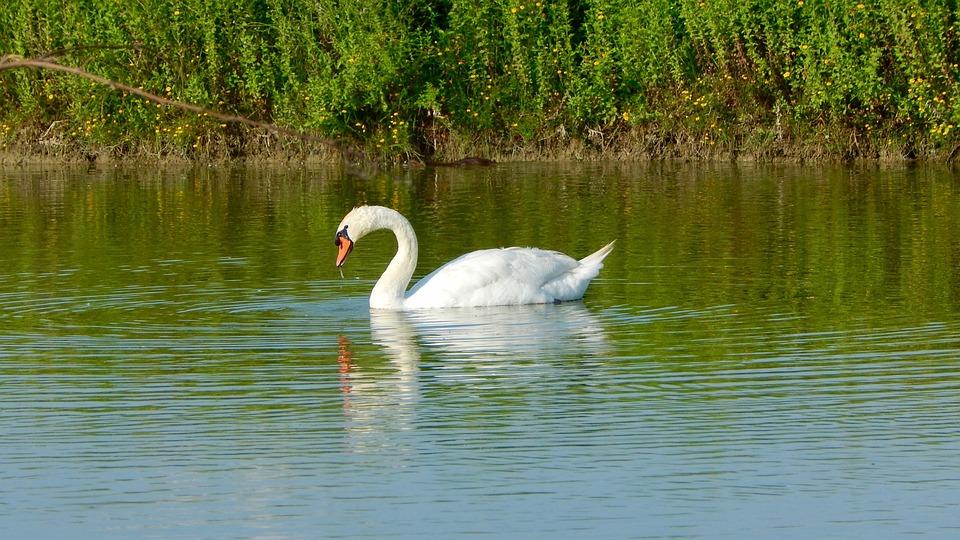 Swan, Volatile, Bird, Pond, Red Beak, White Swan