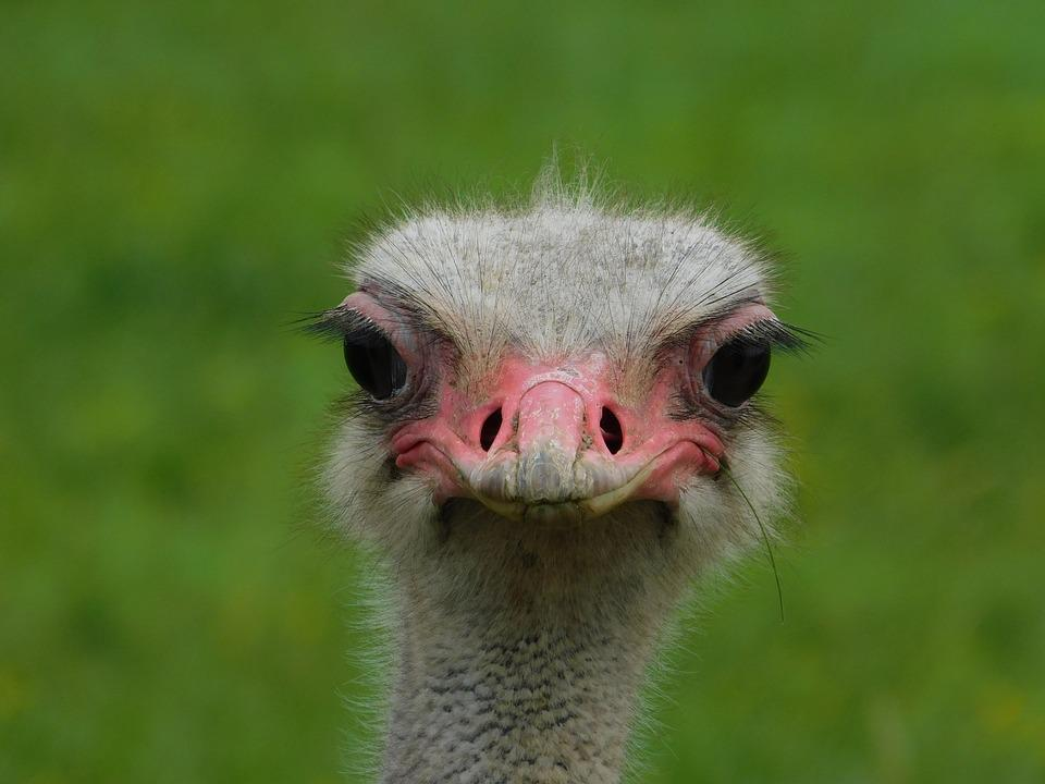 Bird, Ostrich, Animal, Nature, Head, Portrait, Eyes