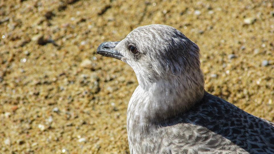 Seagull, Grey, Bird, Gray, Portrait, Nature, Sea