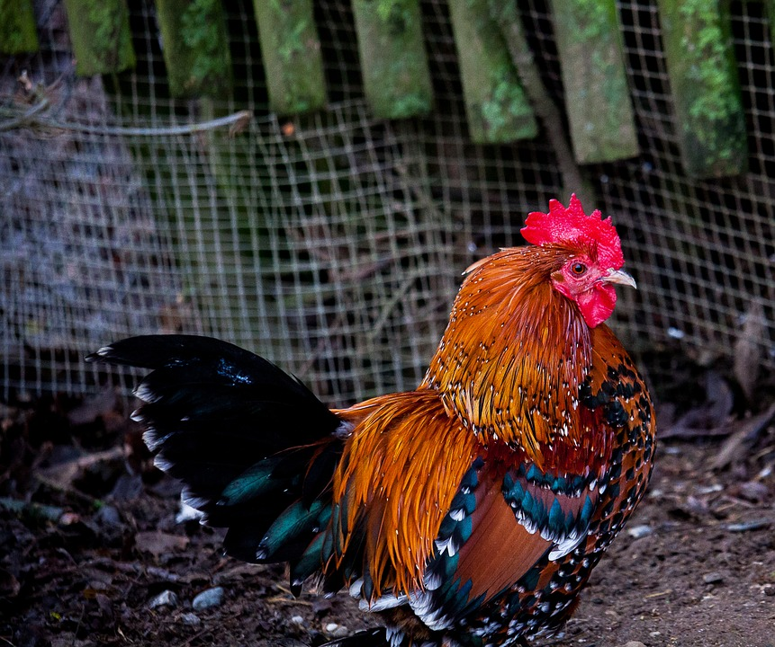 Hahn, Gockel, Poultry, Animal, Animal World, Bird