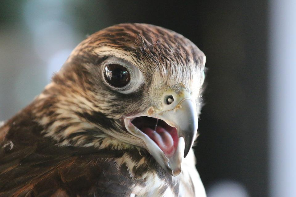 Raptor, Fly, Bird, Predator, Animal, Nature, Freedom