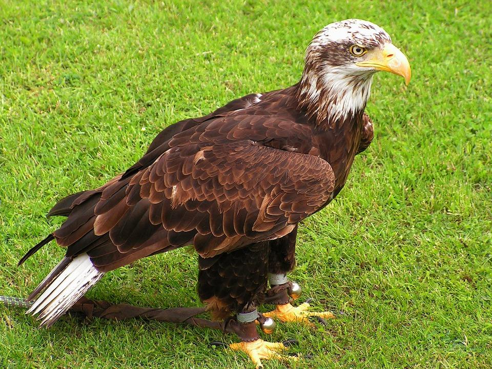 Raptor Rapture - Known as fierce predators, bald eagles can be ...