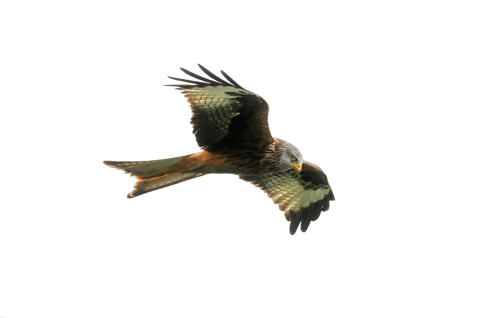 Hawk, Predator, Bird, Wildlife, Nature, Cutout, Flying