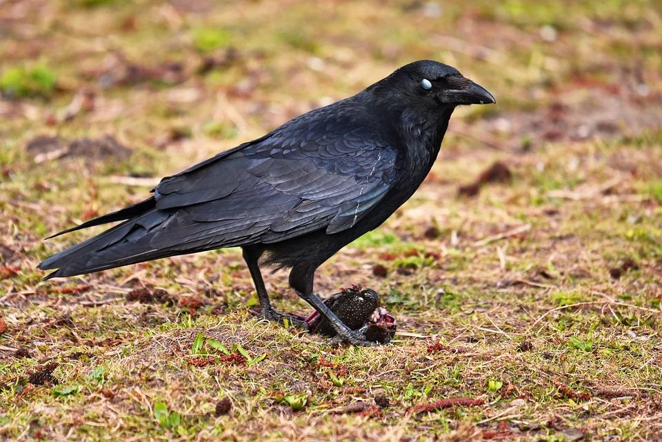 Crow, Bird, Animal, Corvus, Corvidae, Prey, Standing