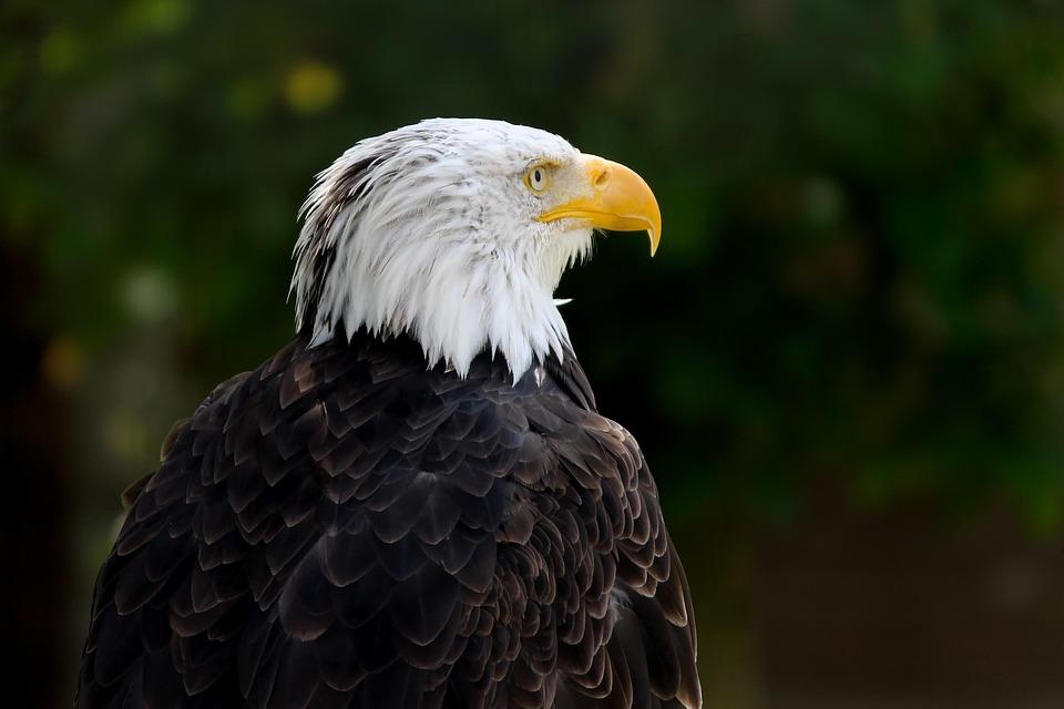 Bald Eagle, Bird, Haliaeetus Leucocephalus, Raptor