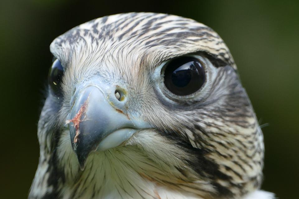 Falcon, Raptor, Bird, Bird Of Prey