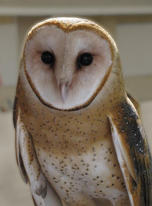 Owl, Barn Owl, Feathers, Raptor, Bird