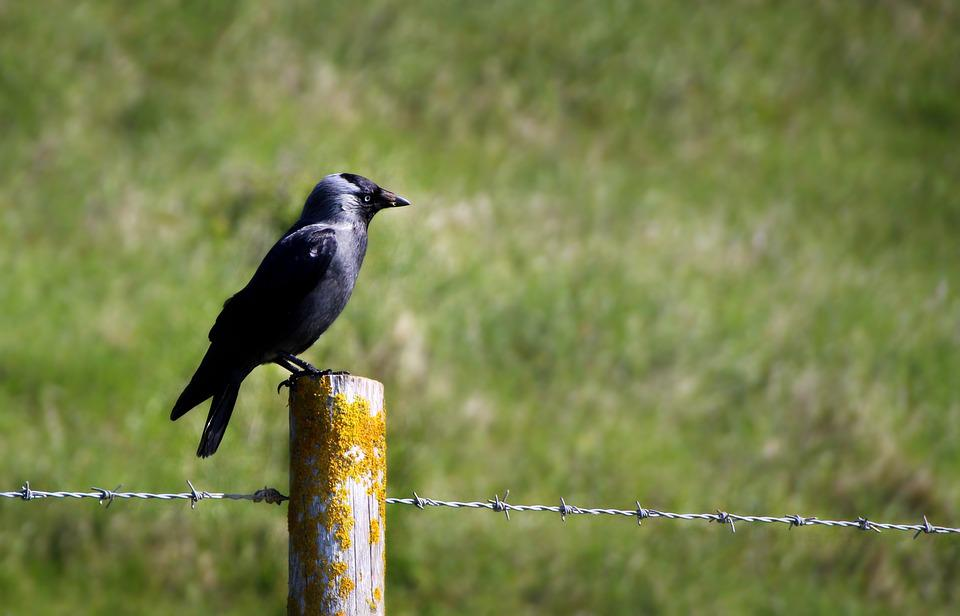 Bird, Raven, Crow, Fence, Guard, Animal, Black