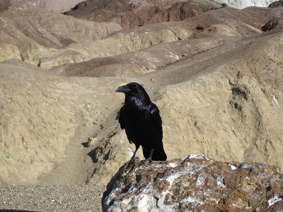 Raven, Death Valley, Bird, Fly, Wings, Feather