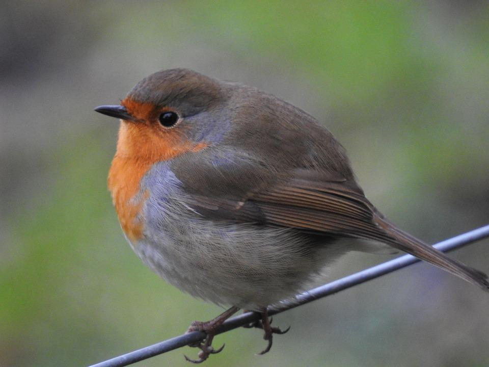 Red Throat, Branch, Bird, Nature