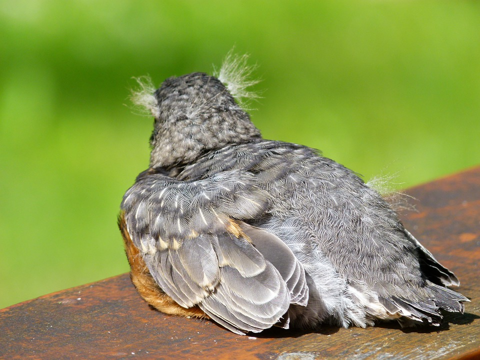 Red Robin, Chick, Fledgling, Resting, Feathered, Bird
