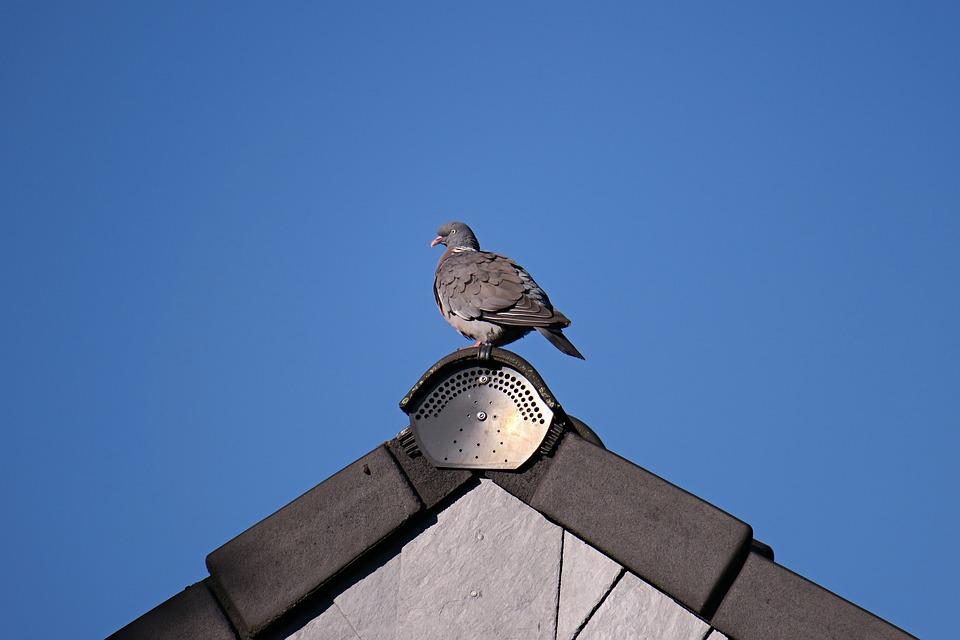 Dove, Ringdove, Bird, Roof, Gable, View, Animal