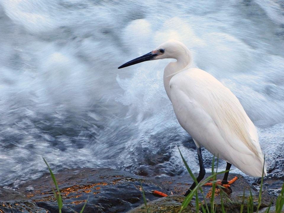 Snowy Egret, Egret, Bird, Wildlife, Water Bird, River