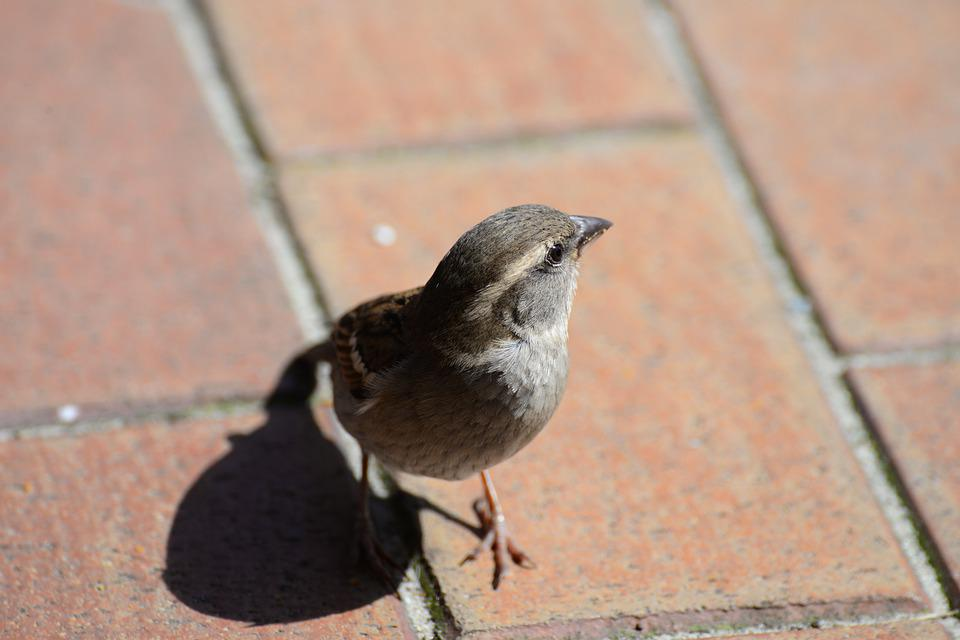 Sparrow, Sperling, Bird, Animal, Close Up, Road, Patch