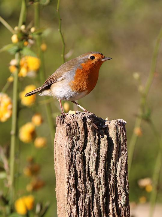 Robin, Post, Flowers, Bird, Nature, Red, Wildlife