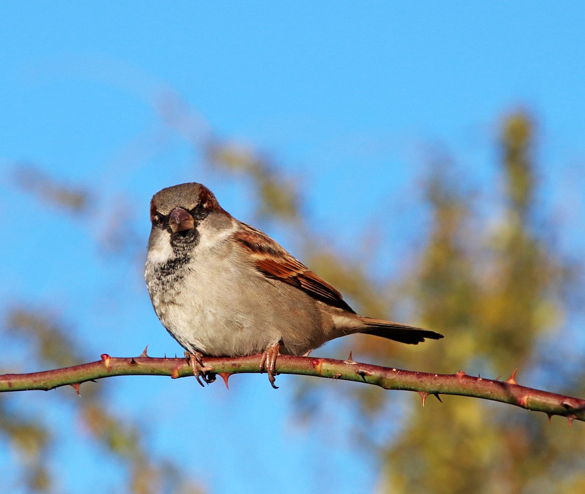 Sparrow, Bird, Wildlife, Perched, Rose Branch, Blue Sky