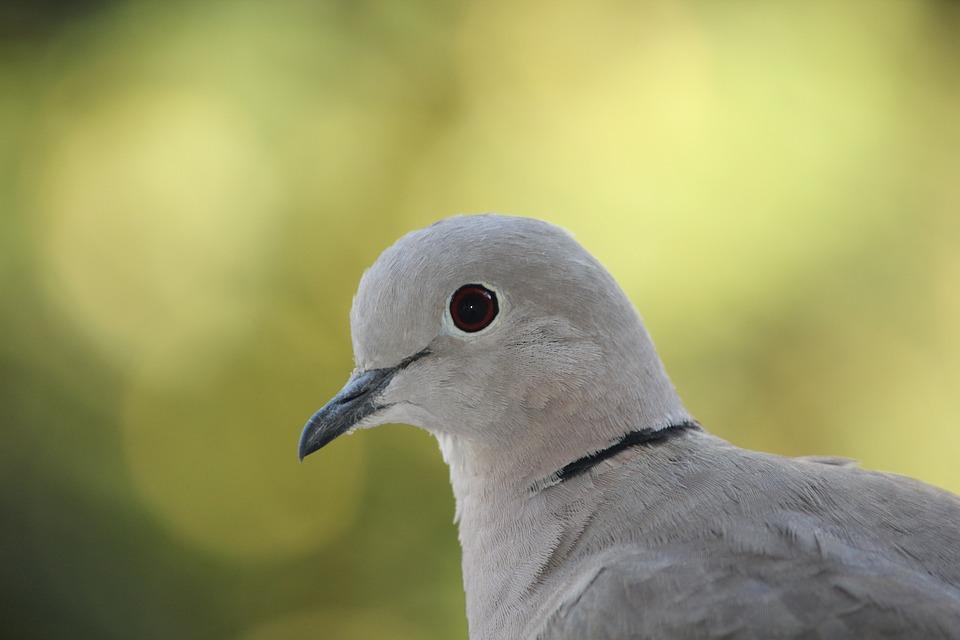 Russula, Dove, Bird, Nature