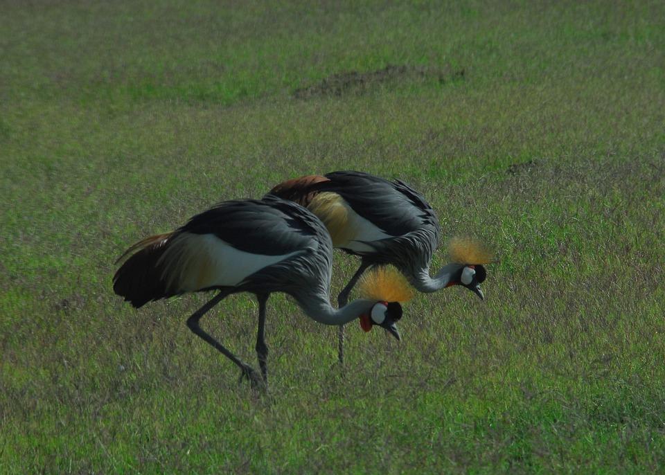 Crowned Cranes, Kenya, Safari, Africa, Bird, Cranes