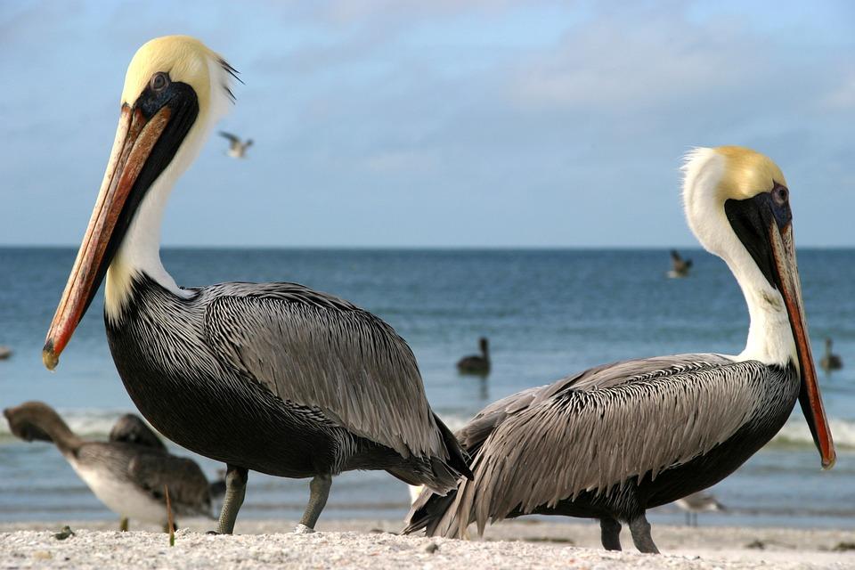 Pelicans, Sea, Outlook, Beach, Pelikan, Bird, Water