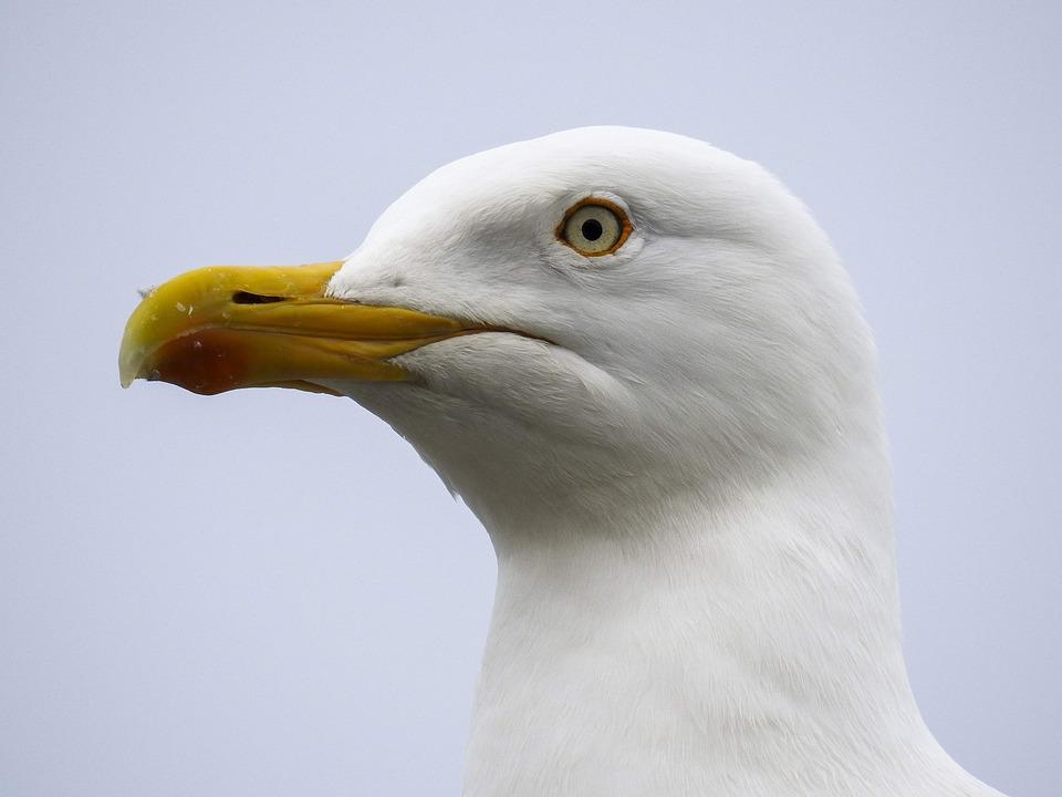 Herring Gull, Seagull, Nature, Animal, Bird