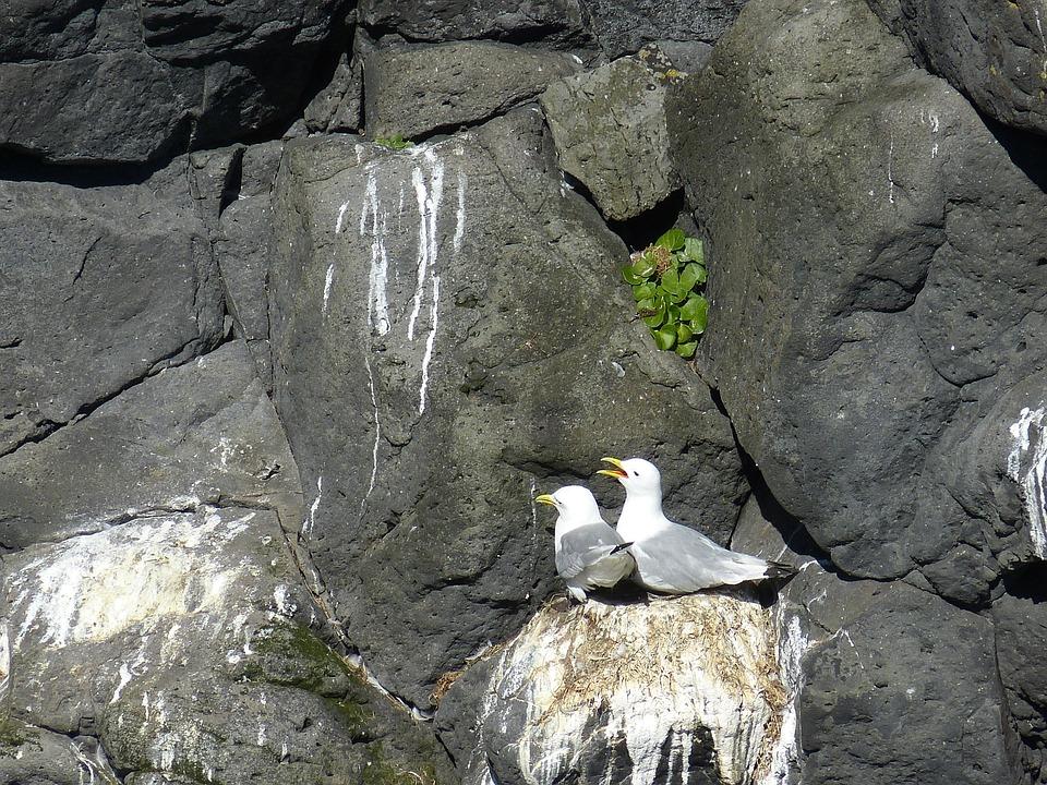 Iceland, Seagull, Bird, Nest, Pair, Coast, Atlantic