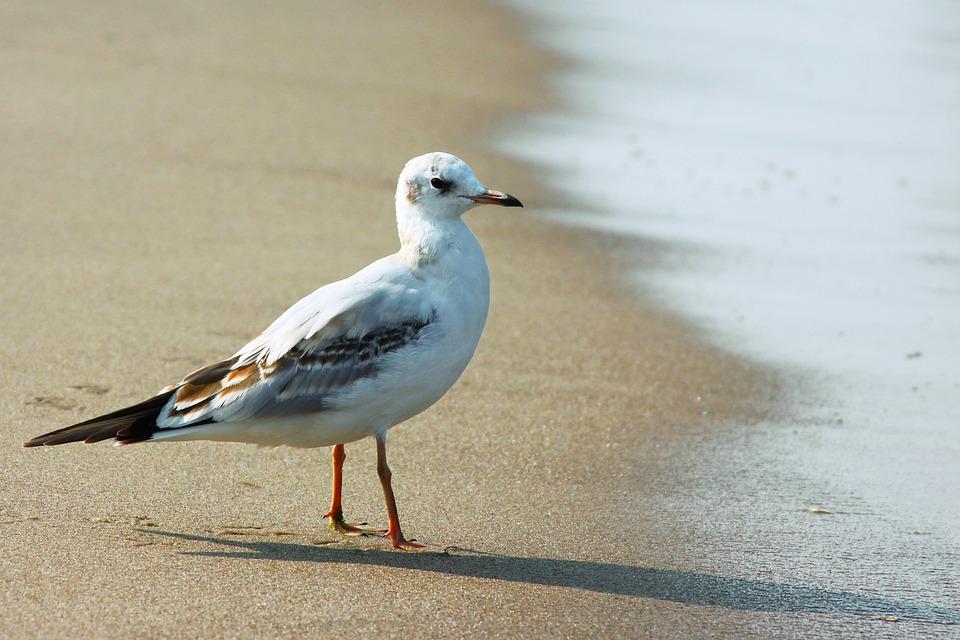 Seagull, Baltic Sea, Bird, Sea, Seagulls, Water Bird