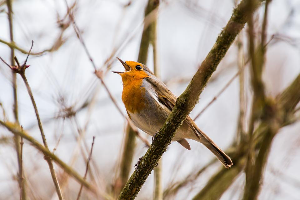 Bird, Singer, Singing, Chirp, Tweet, Chirrup, Robin