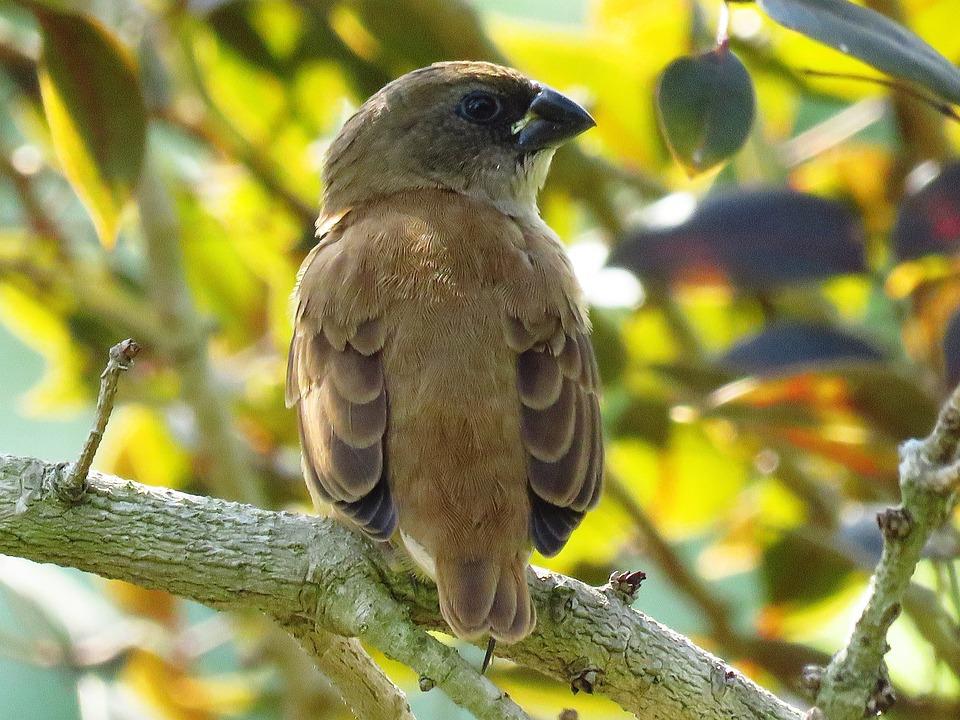 Ashy Crowned Sparrow Lark, Sparrow, Bird, Sitting