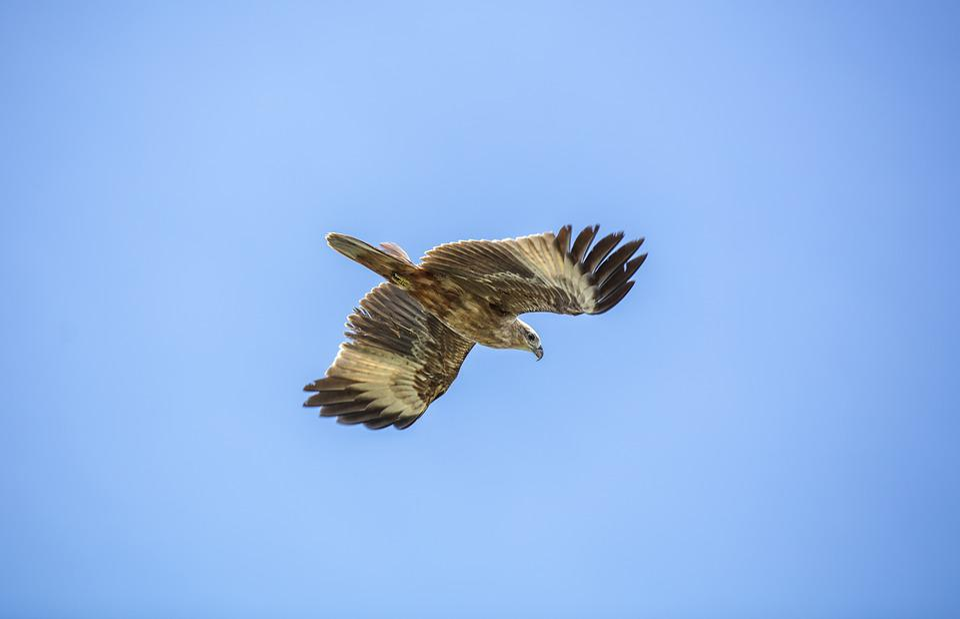 Golden Eagle, Sky, Bird
