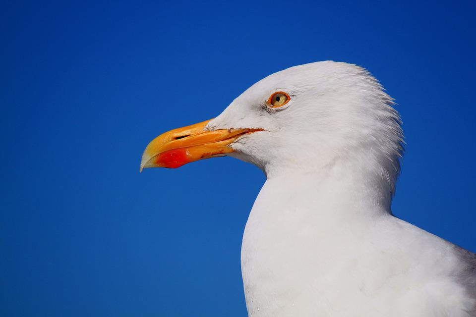 Seagull, Bird, Animal, Water Bird, Close, Sky