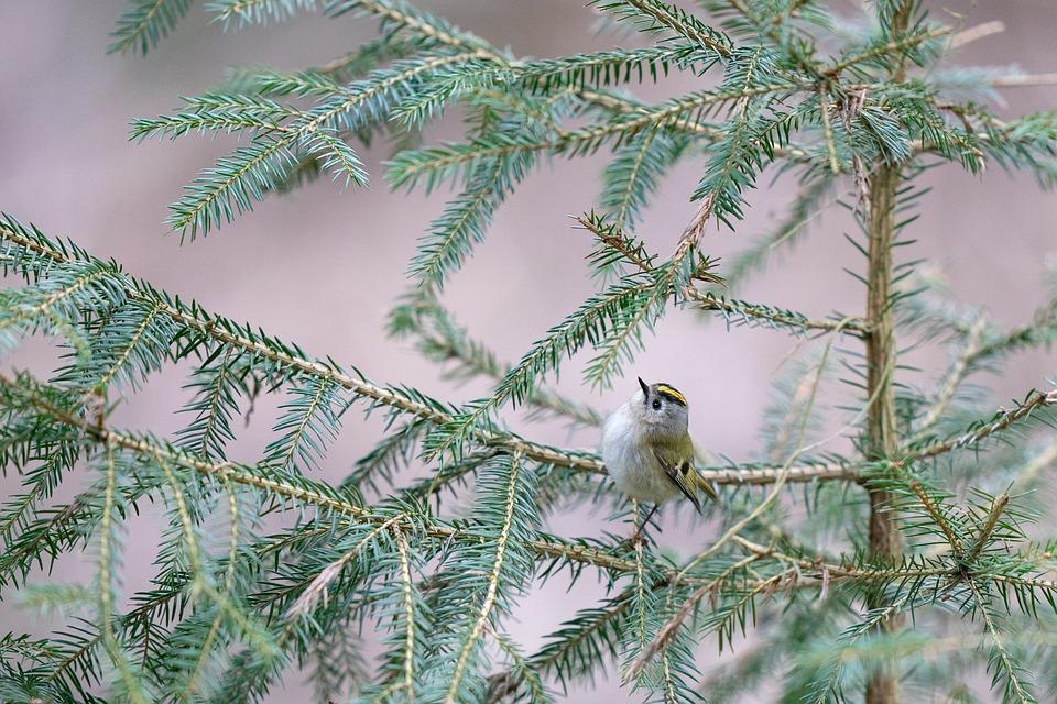 Goldcrest, Bird, Avian, Nature, Animal, Small, Branch