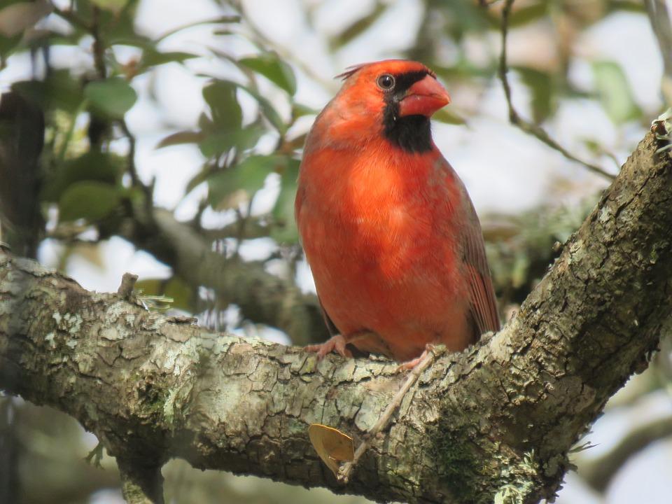 Cardinal, Bird, Red, Songbird, Wildlife, Tree, Nature