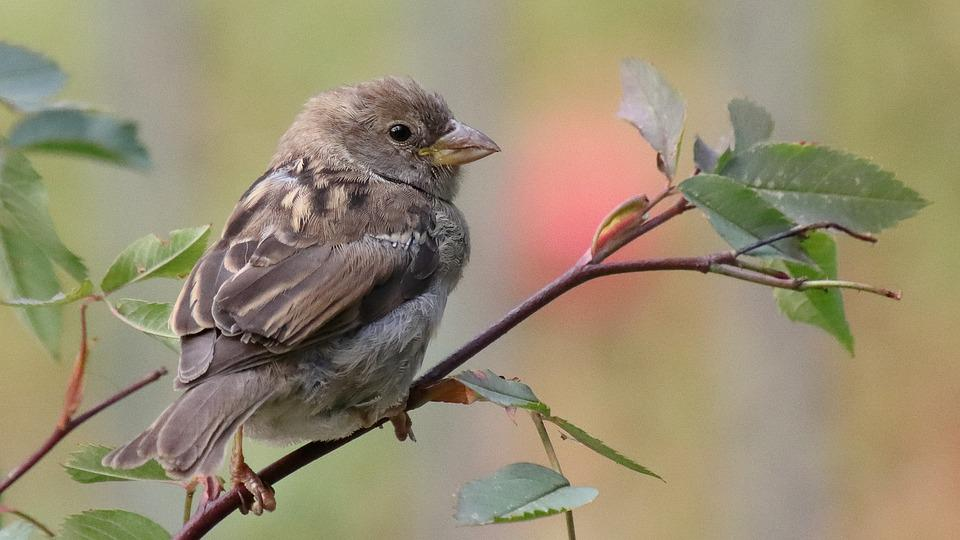 Sparrow, Bird, Animal, House Parrow, Juvenile Bird