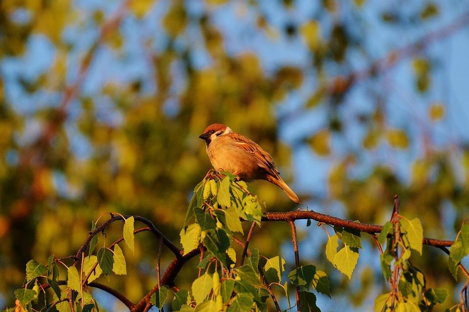 Sparrow, Bird, Feather, Sperling, Nature, Plumage