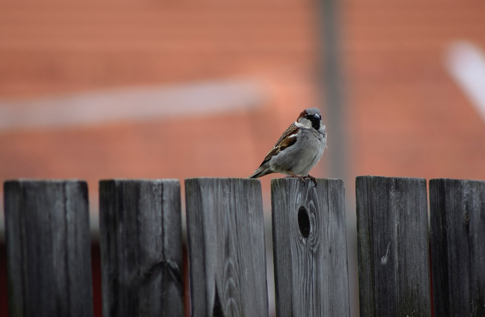 Bird, Fence, Sparrow