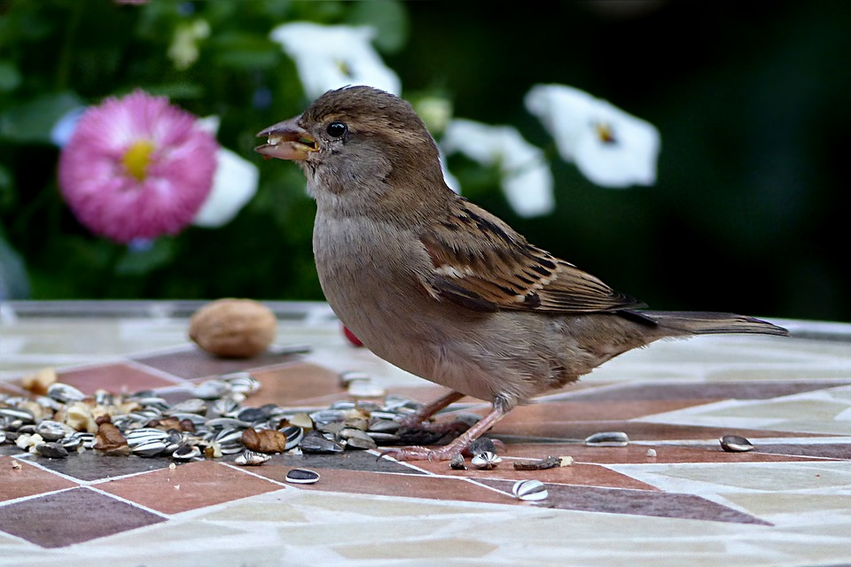 Bird, Sparrow, Sperling, Passer Domesticus, Young