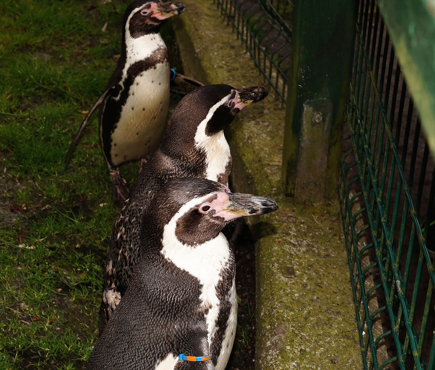 Humboldt Penguin, Spheniscus Humboldti, Penguin, Bird