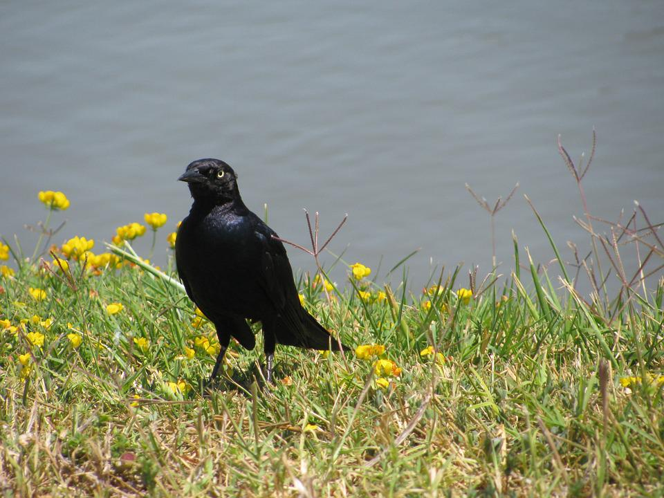 Blackbird, Starling, Bird