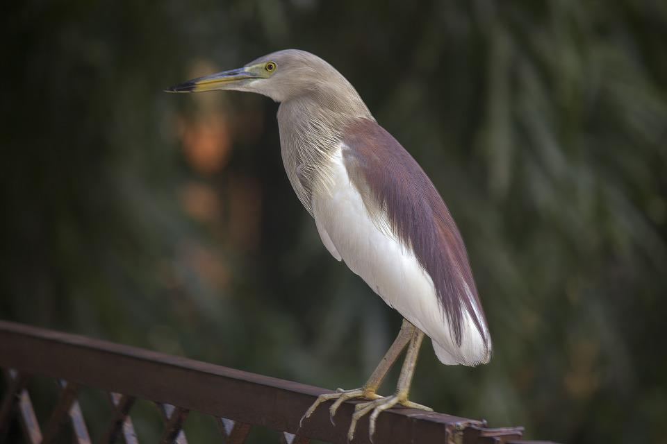 Goa, Nature, Asia, Stone, Bill, Bird, Duck Pond