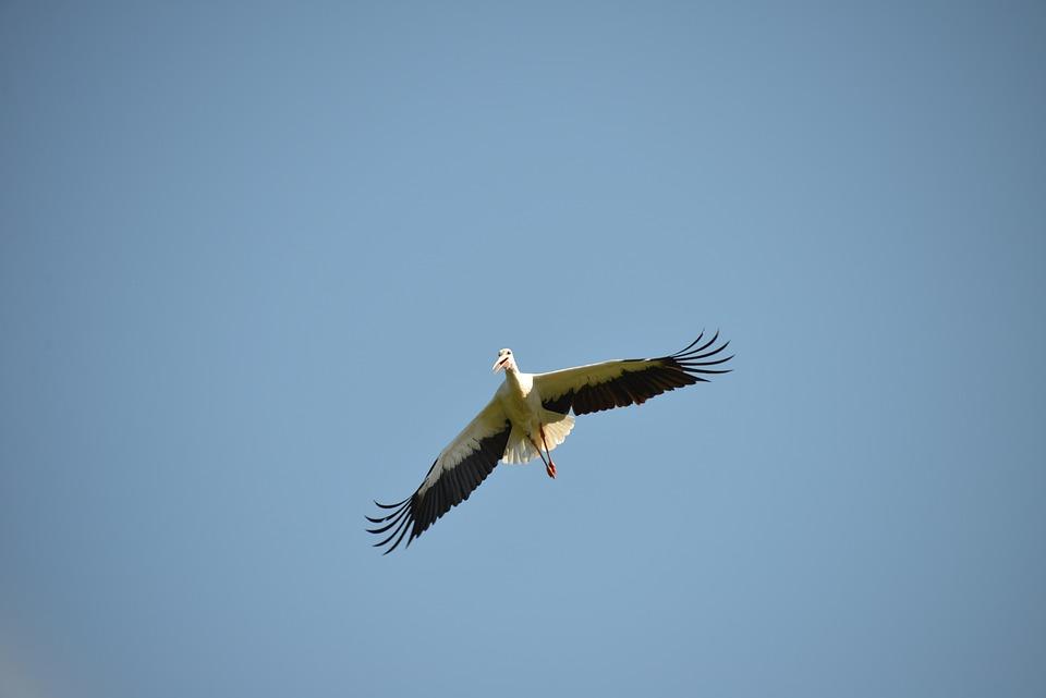 Fly, Stork, Bird, Animal, Rattle Stork, White Stork