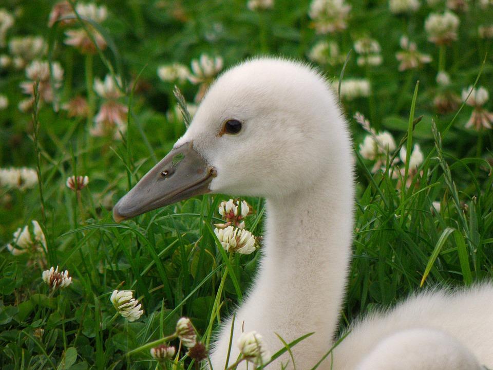 Swan, Cub, Bird, Lawn, White, Head